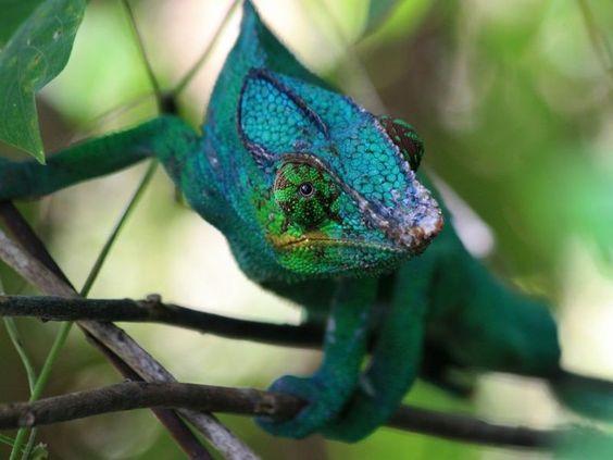 Chamäleons gehören zu den bekanntesten, beliebtesten und schönsten Reptilien der Welt – Bild: Shutterstock / Aalten    www.einfachtierisch.de