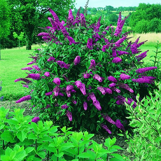 Schmetterlingsflieder - Buddleja Rot --Pflanzen aus Holland - BlumenzwiebelnVersand.de