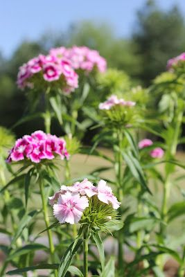 Phlox. They are perfection.