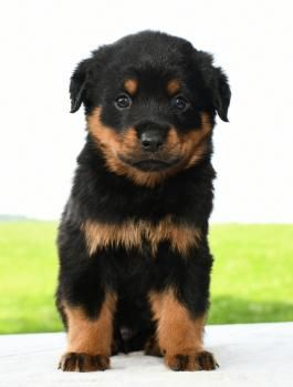 Rottweiler Puppies For Sale Lancaster Puppies Rottweiler Puppies For Sale Rottweiler Puppies Puppies For Sale