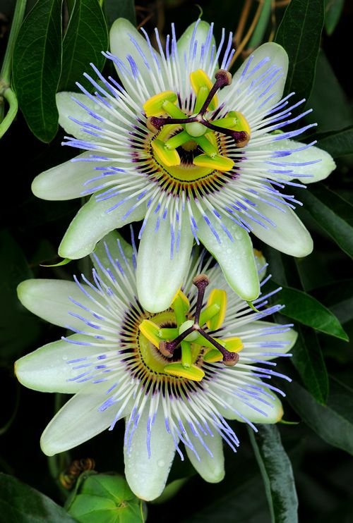 Passion Flower (Passiflora caerulea):