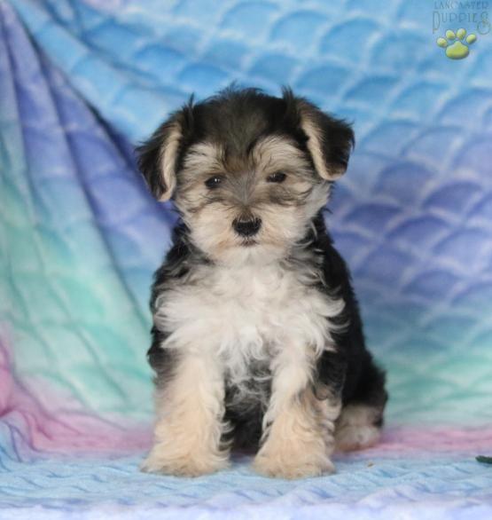 Queston Morkie Puppy For Sale In Gap Pa Lancaster Puppies Puppies Morkie Puppies Lancaster Puppies