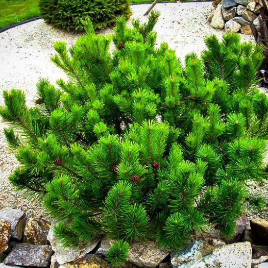Dwarf Mugo Pine Mugo Pine Small Pine Trees Pine Bush