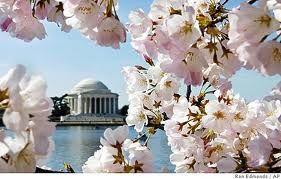 Washington DC  @ Cherry Blossom time