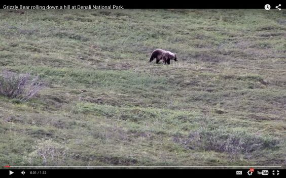 Bear Rolls Down Hill Like a Kid - This might be the best thing you see all day — a young grizzly playing gravity games.  http://adventure-journal.com/2015/08/bear-rolls-down-hill-like-a-kid/