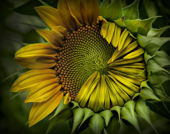 sunflower #2 by marion faria, via 500px