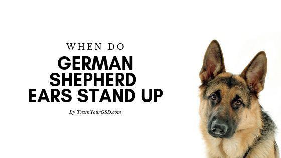 When Do German Shepherd Ears Stand Up German Shepherd Ears