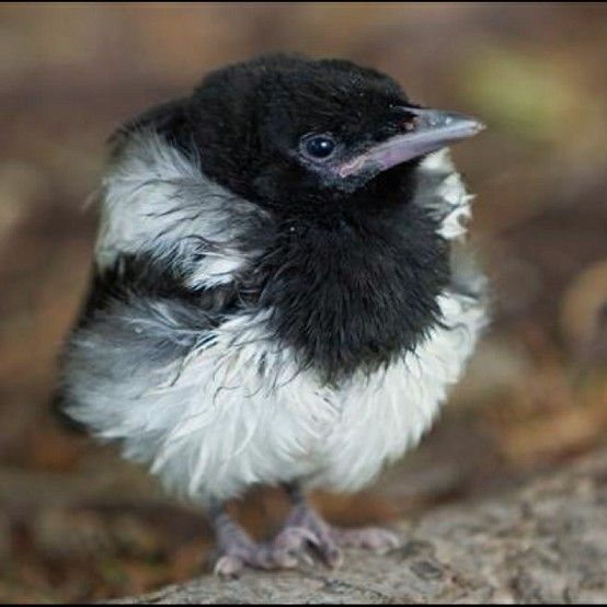 Baby magpie (how adorable!)