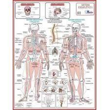 Resultado de imagem para anatomia
