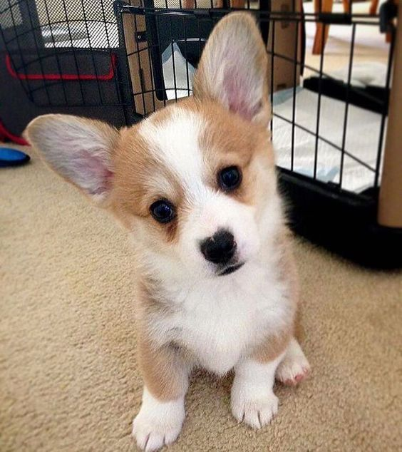 See this Instagram photo by @corgistagrams • 2,705 likes