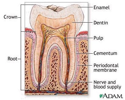 teeth whitening teeth and tips on pinterest : diagram of tooth - findchart.co