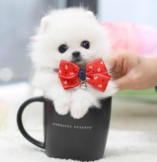 Boutique Teacup Puppies Store Teacup Puppies Pomeranian Puppy Really Cute Puppies