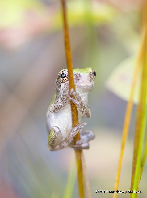 ~~You Can't See Me ~ Baby Gray Treefrog by MattSullivan~~