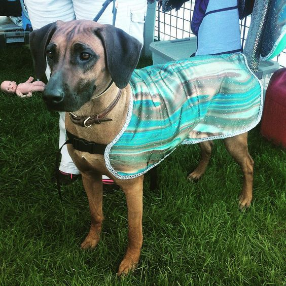 https://flic.kr/p/vCXoUL | Isn't she gorgeous? Beautiful Rhodesian Ridgeback in a glamorous cool coat. This one has been really popular with the reddish colored dogs because it compliments their coloring really well. #coatsmadebyde #dogs #dogcooler #dogcoolcoat #fancydogcoat #fancy