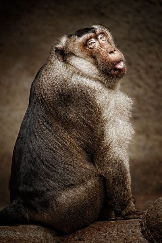 Southern pig-tailed macaque by Manuela Kulpa on 500px