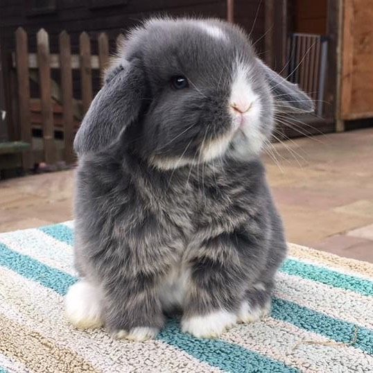 New The 10 Best Home Decor With Pictures Aeroplane Ears Babybunny Minilop Grey Lilac Cute Fluffy Rabbit Mini Lop Mini Lop Bunnies Cute Animals