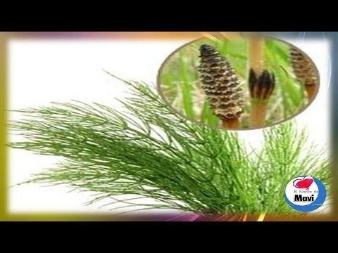 Cola De Caballo Plantas Y Hierbas Medicinales La Cola De Caballo Es Una Planta útil Para Tratar Las Hemorroides Cola De Caballo Ashy Balayage Warm Blonde