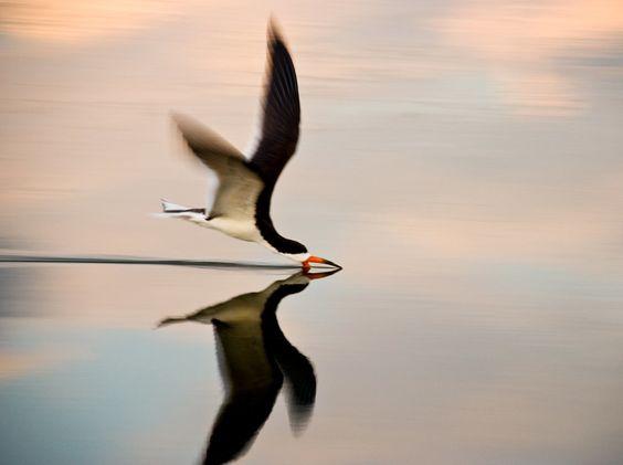 Pájaro volando con el pico en el agua:
