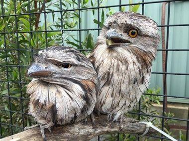 Laoko Animal Rescue Group Cares For Two Tawny Frogmouths Animal Rescue Injured Wildlife Animals