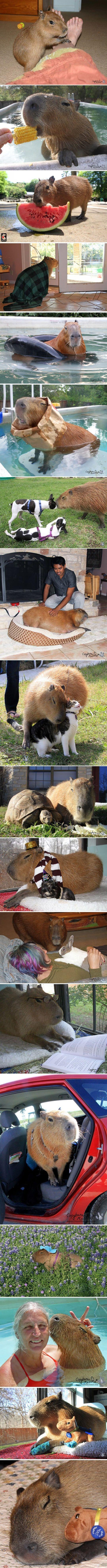 The Internet needs more capybaras…: