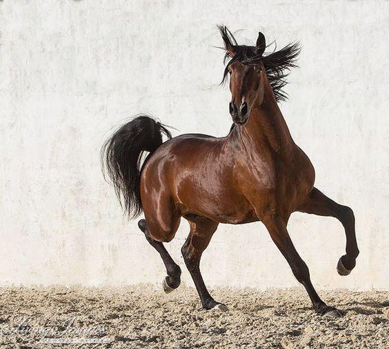 Des Hengstes Happy Dance - Fine Art Pferd Foto - Pferd - Lusitano - Pferd Foto