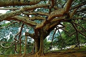 """Baum-Schirm"""