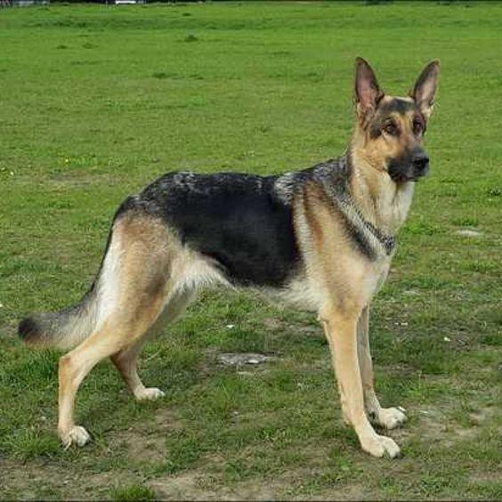 Information About German Shepherd Rescue Southwest Florida