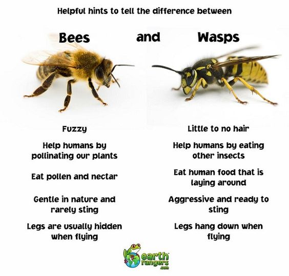 Bees vs. Wasps Source: Pinterest