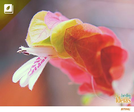Você já ouviu falar em uma planta chamada Camarão? Apesar do nome, as flores avermelhadas são estruturas em forma de espiga que se sobrepõem como escamas para proteger as flores brancas. Essa espécie floresce quase o ano todo, mas precisa de sol a pleno ou meia sombra.