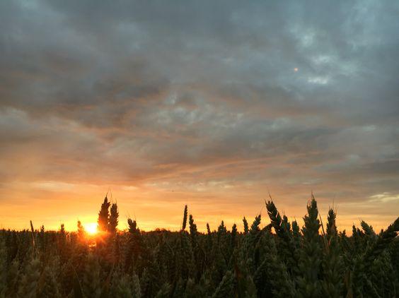 Westgate wheat at sunset