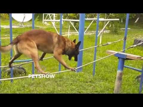 Belgian Malinois Lachi Is A Moldovan Border Police Dog With