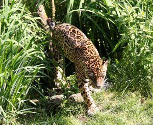 Picture of a Jaguar walking through tall grass.