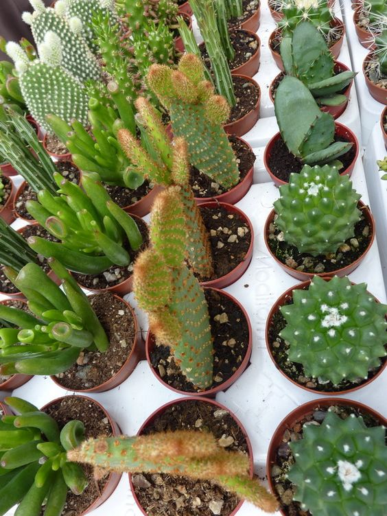 Cactus b squeda and google on pinterest for Tipos de cactus y suculentas
