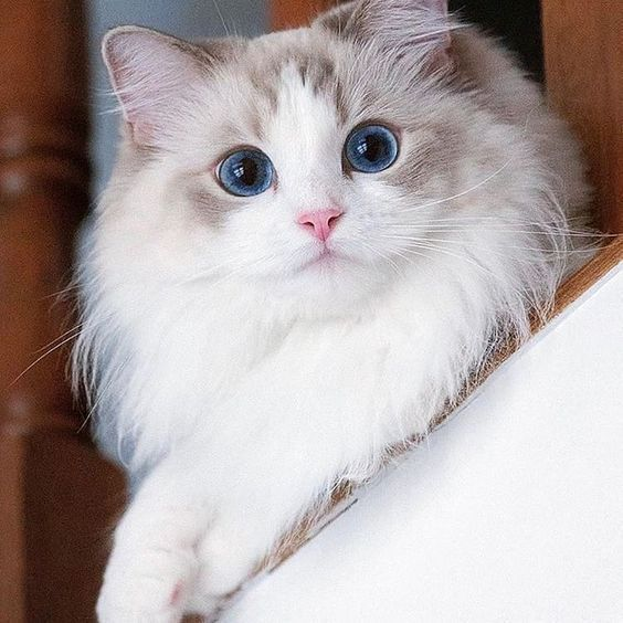 Most Amazingly Beautiful Cat Breeds In The World Catbreeds Cats Cute Cat Gif Cute Cats Pretty Cats
