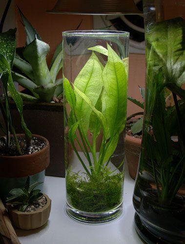 ... aquarium and more swords glass vase vase amazons shrimp glasses link