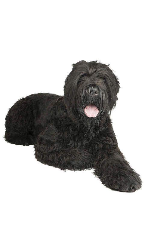 Black Russian Terrier Dogs Breed Information Omlet Black Russian Terrier Terrier Dog Breeds Terrier