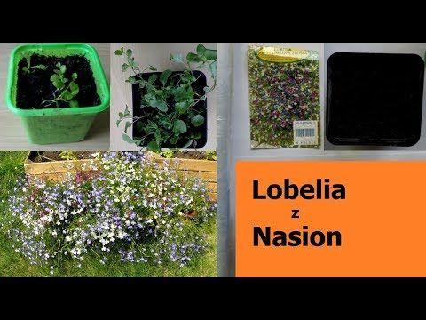 Jak Siac Sadzic I Uprawiac Lobelie Jak Rosnie Lobelia Cz1 Youtube Plants