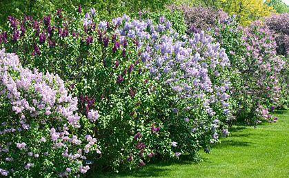 lilacs privacy fences and shrubs on pinterest. Black Bedroom Furniture Sets. Home Design Ideas