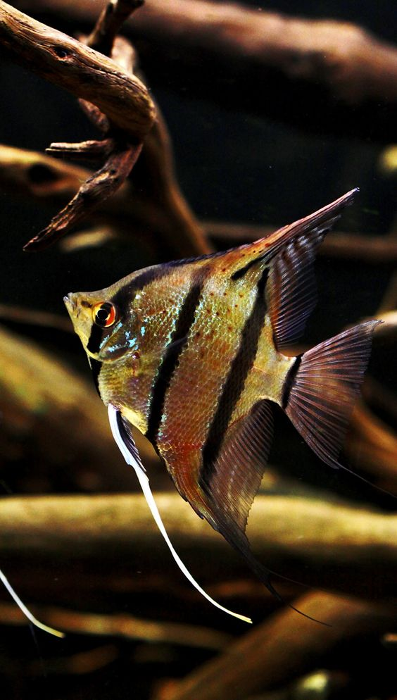 ... scalare sp. ?Rio Nanay?: Angelfish (Peruvian wild spotted angels