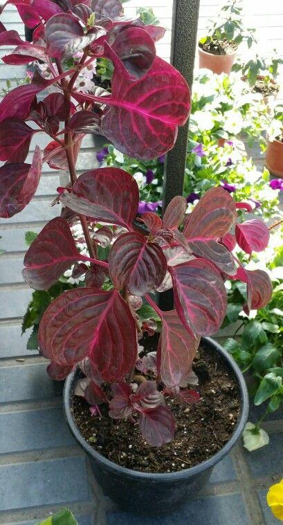 Iresine herbstii brilliantissima nombre com n o vulgar for Plantas ornamentales de interior