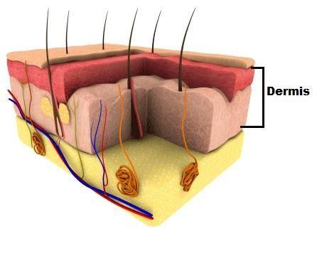 Cómo está compuesta la piel - 4 pasos (con imágenes)