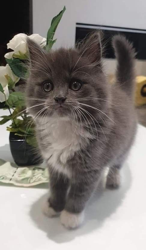 Pin By Anita Hickerson On Koshki Kittens Cutest Pretty Cats Fluffy Kittens