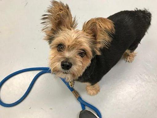 Sayreville Nj Yorkie Yorkshire Terrier Meet Allie A Dog For