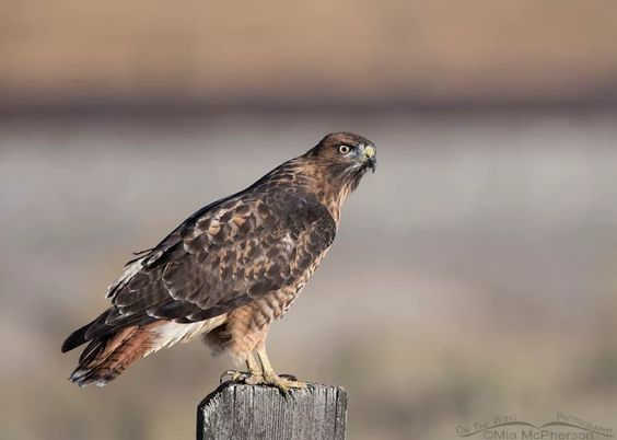 Sub-adult Red-tailed Hawk in Clark County, Idaho: