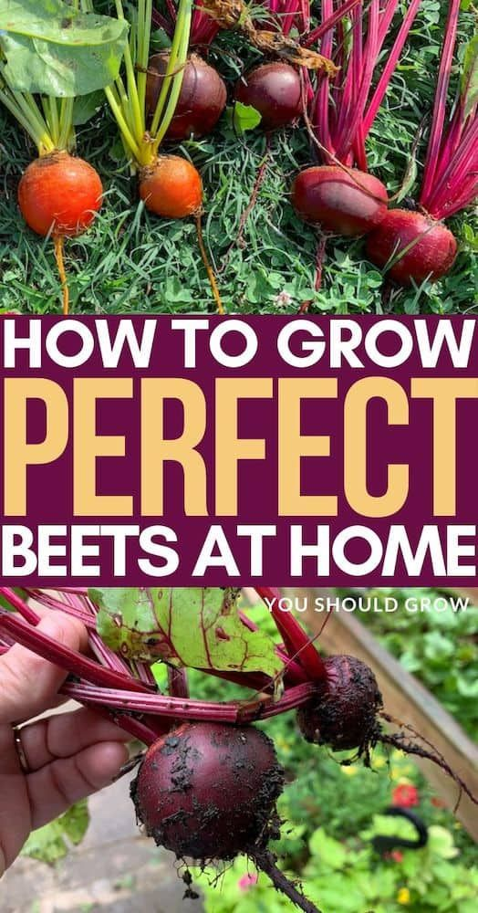 Beet Each Beet Seed Produces One Beetroot Topped With Edible Leaves That Can Be Harvested Continually But Lightly While The Beet Beet Seeds Beetroot Beets
