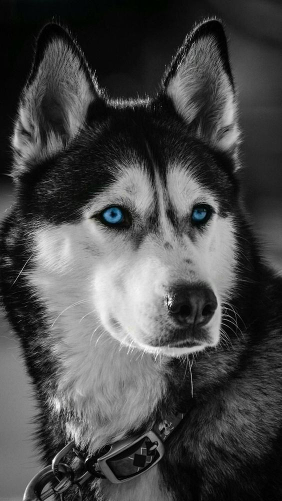 7 Dogs With Absolutely Breathtaking Blue Eyes Huskies Dogs Blue Eyes Husky Dogs Cute Husky Puppies