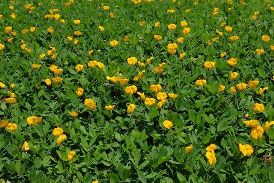 Ecoturf perennial peanut hot corner landscape ideas for No maintenance plants perennials