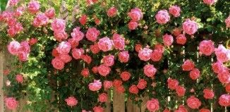 6 Tips For Having Climbing Roses In Your Garden