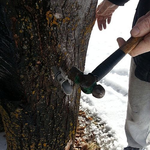 Maple tapping day!