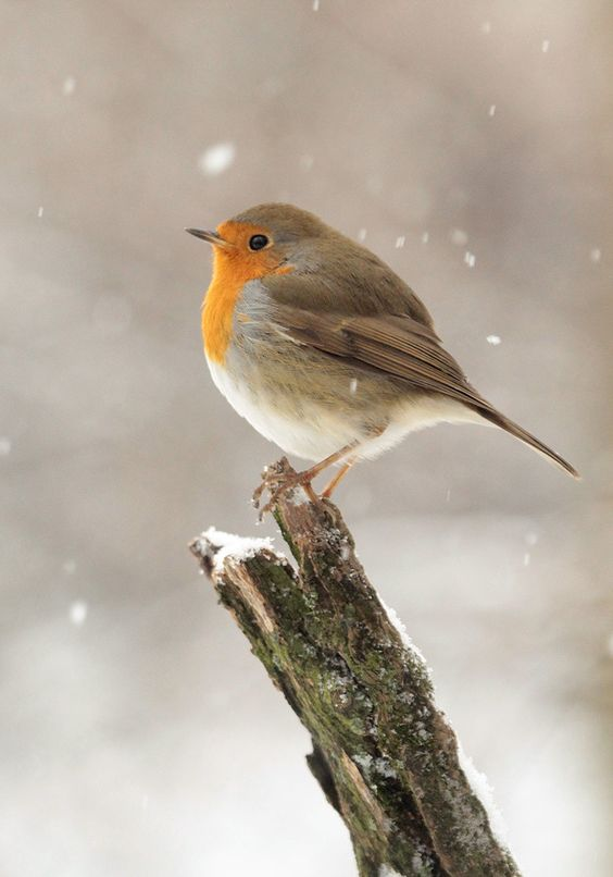 European robin (Erithacus rubecula), most commonly known in Anglophone Europe…